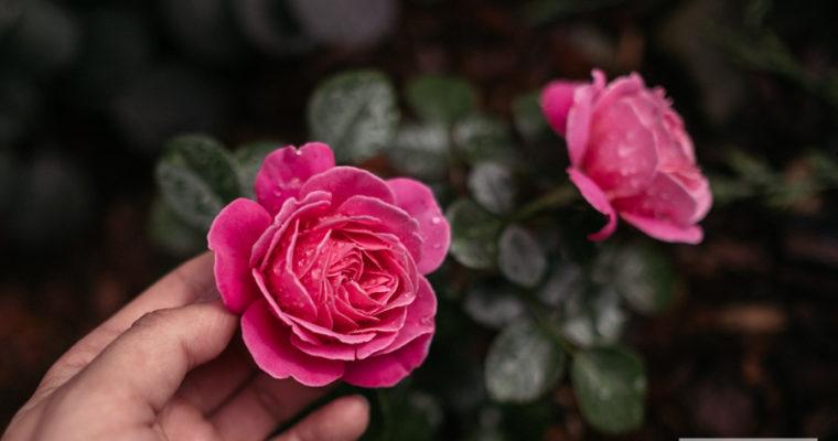 Róża rabatowa 'Tom Tom'