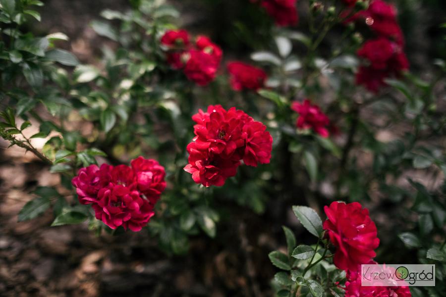Róża okrywowa 'Fairy Dance'