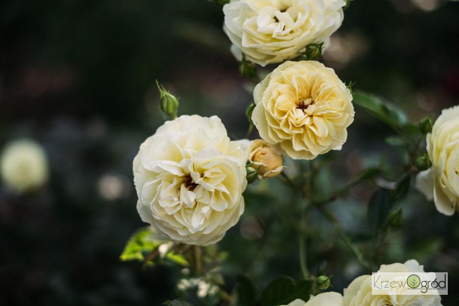 Róża okrywowa 'Sonnenschrim' [niedostępna]