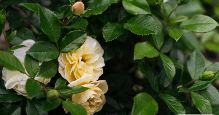Róża okrywowa 'Sonnenschrim'