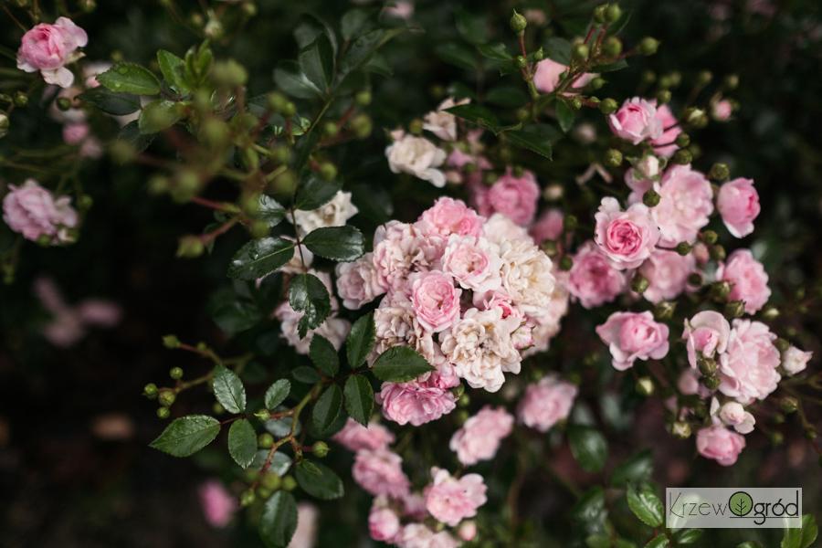 Róża okrywowa 'The Fairy' [niedostępna]