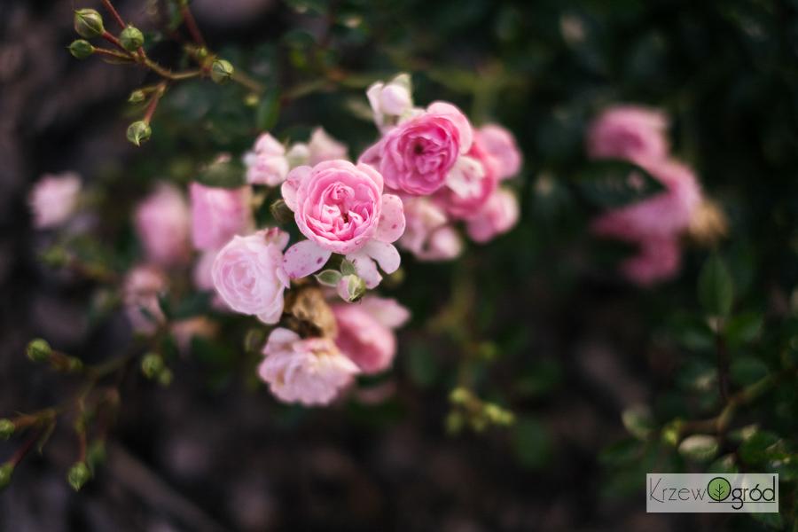 Róża okrywowa 'The Fairy'