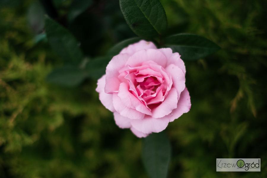 Róża parkowa 'Martha' (Park rose) [niedostępna]