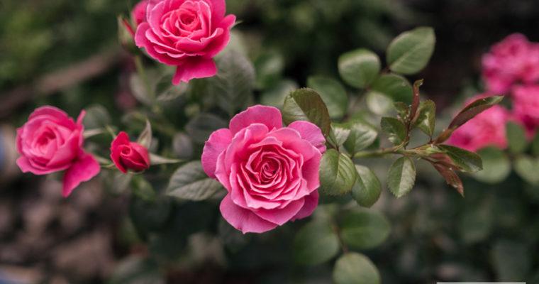 Róża rabatowa 'Tom Tom' [niedostępna]