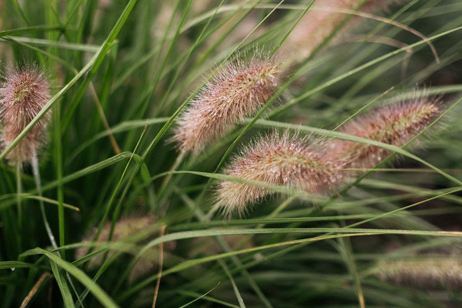 Rozplenica japońska (Pennisetum alopecuroides)