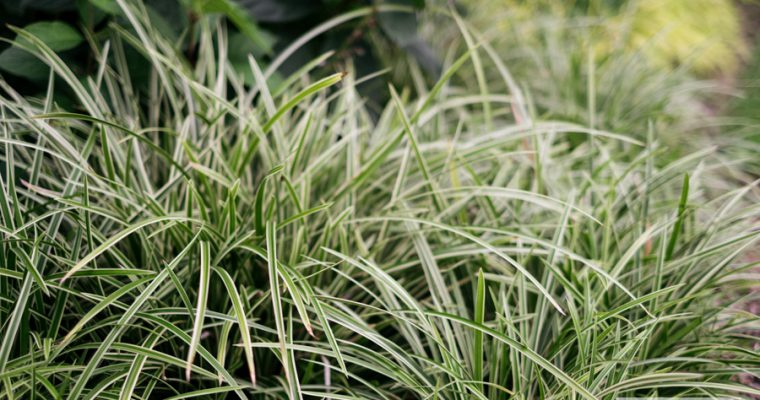 Turzyca morrowa 'Ice Dance' (Carex morrowii)