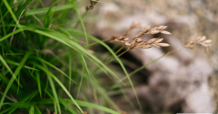 Turzyca palmowa (Carex muskingumensis)