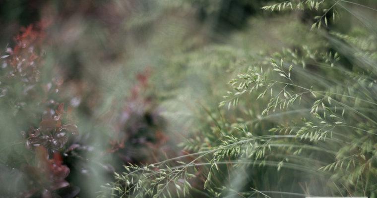 Kostrzewa sina (Festuca glauca)