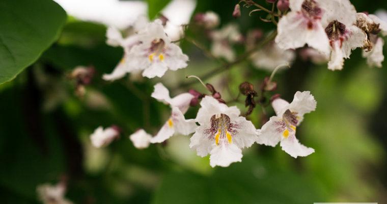Surmia bignoniowa (Catalpa bignonioides)