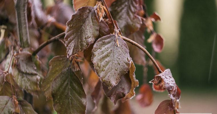 Buk pospolity 'Purpurea pendula' (Fagus sylvatica)