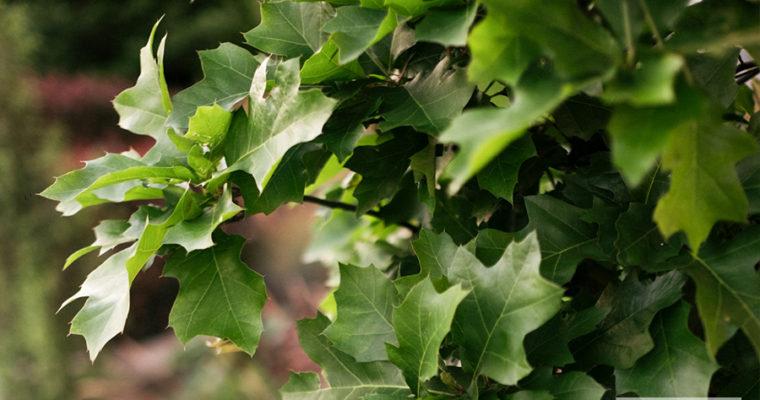 Dąb błotny 'Green Dwarf' (Quercus palustris)