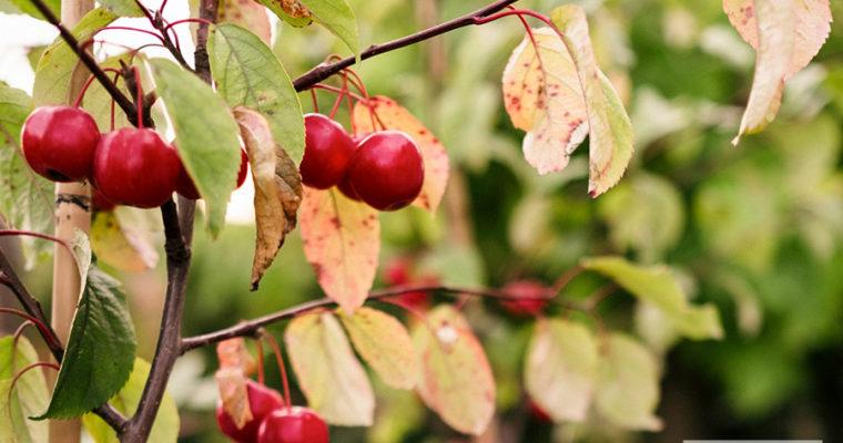 Jabłoń 'Red Sentinel' (Malus)