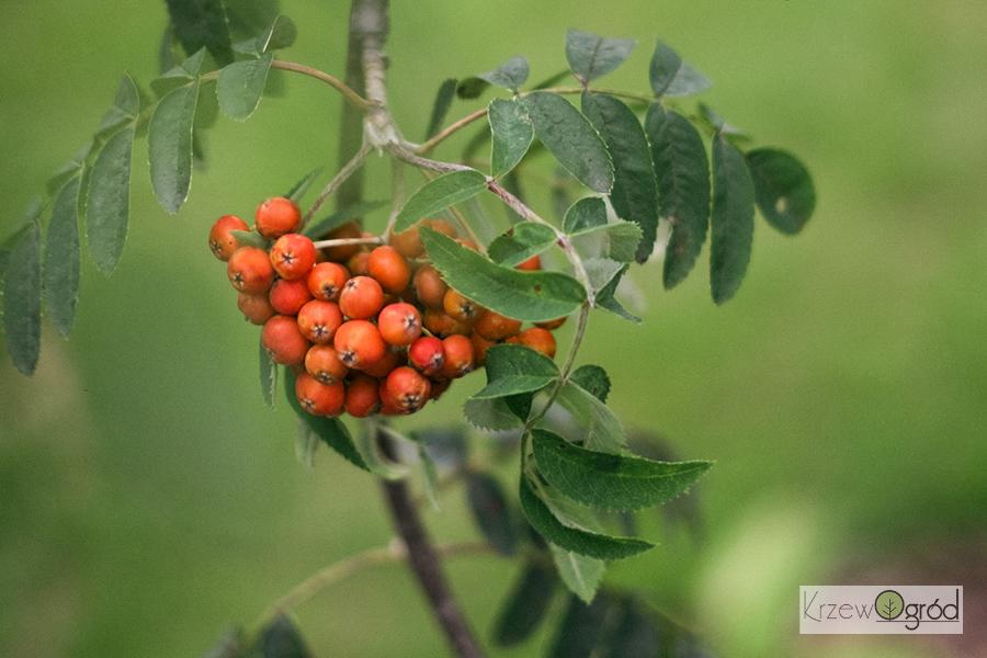 Jarząb pospolity 'Pendula' (Sorbus aucuparia)