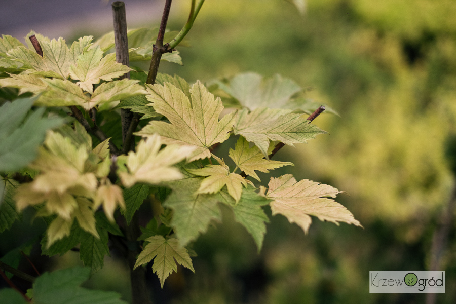 Klon jawor 'Prinz Handjery' (Acer pseudoplatanus)