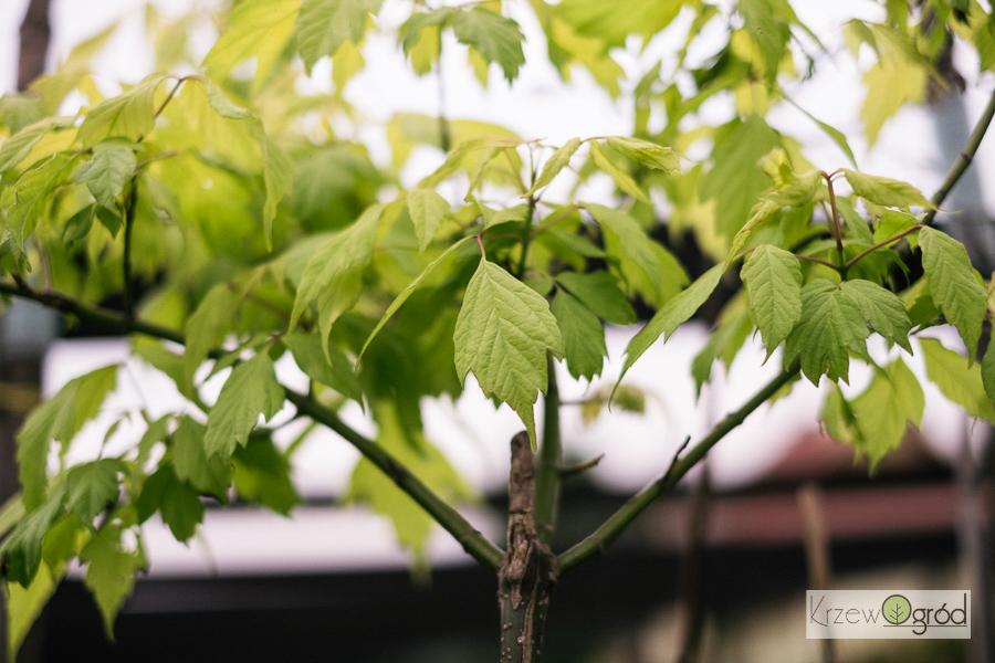 Klon jesionolistny 'Odessanum' (Acer negundo)