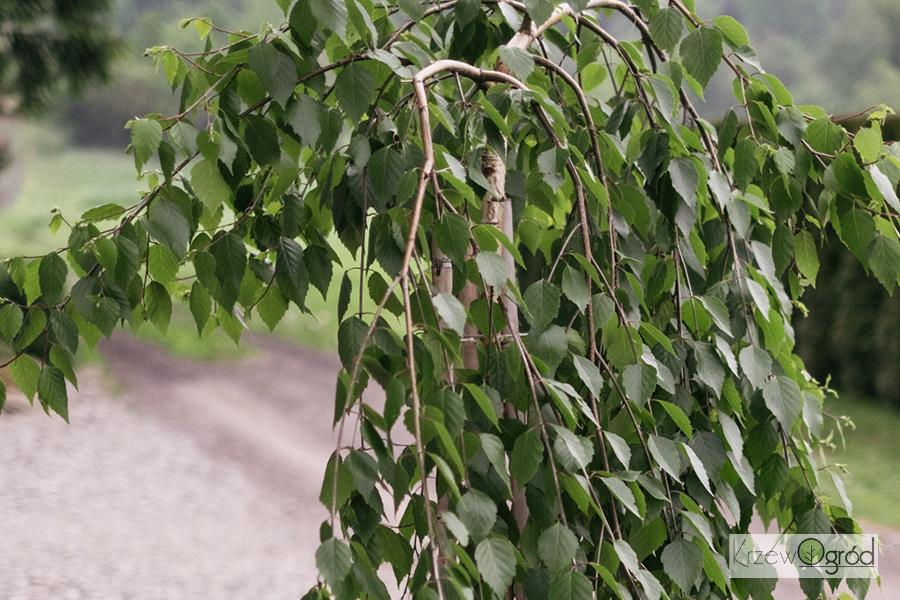 Brzoza pożyteczna 'Long Trunk' (Betula utilis)