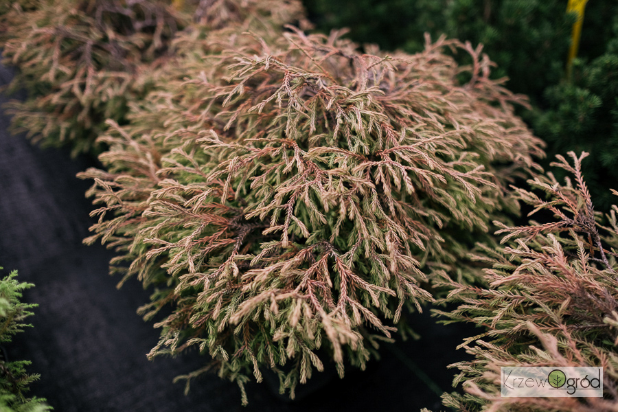 Żywotnik zachodni 'Golden Tuffet' (Thuja occidentalis)