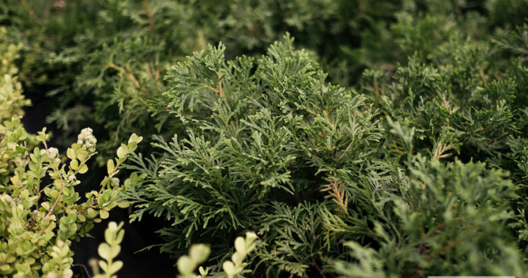 Żywotnik zachodni 'Little Gem' (Thuja occidentalis)