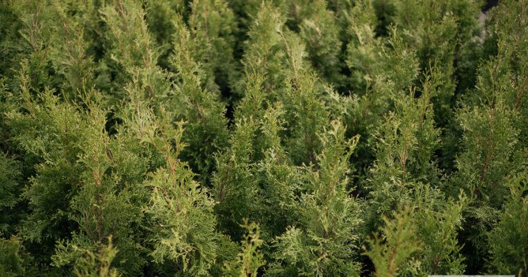Żywotnik zachodni 'Smaragd' (Thuja occidentalis)