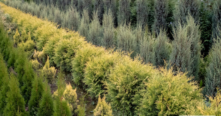 Żywotnik zachodni 'Golden Globe' (Thuja occidentalis)