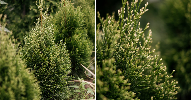 Żywotnik zachodni 'Smaragd Witbont' (Thuja occidentalis)