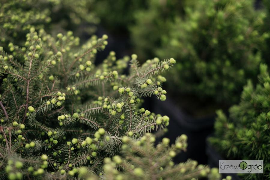 Świerk czarny 'Nana' (Picea marina)