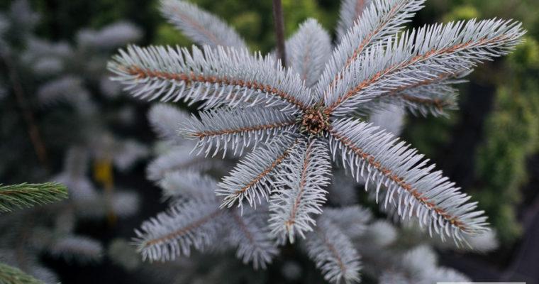 Świerk kłujący 'Glauca Pendula' (Picea pungens)
