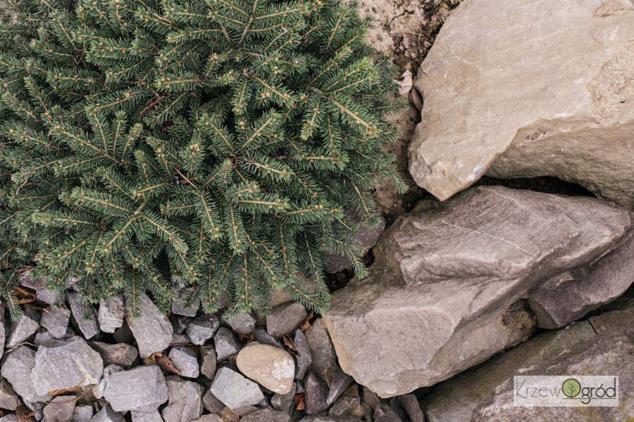 Świerk kłujący 'Sonia' (Picea pungens)