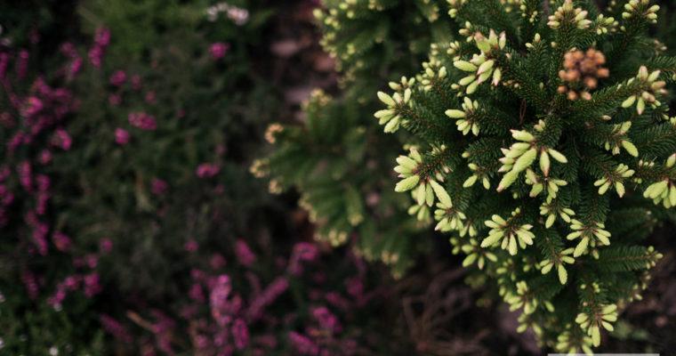 Świerk pospolity 'Barryi' (Picea abies)