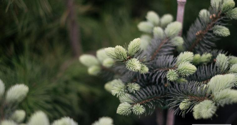 Świerk pospolity 'Compacta' (Picea abies)