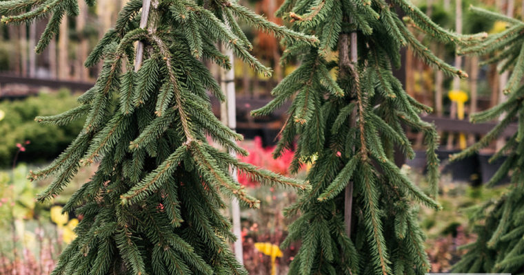 Świerk pospolity 'Inversa' (Picea abies)