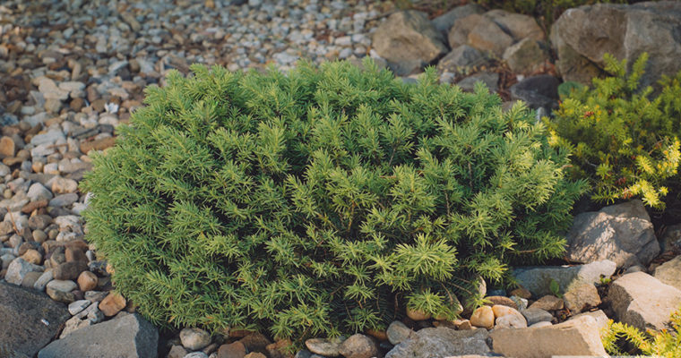Świerk pospolity 'Little Gem' (Picea abies)