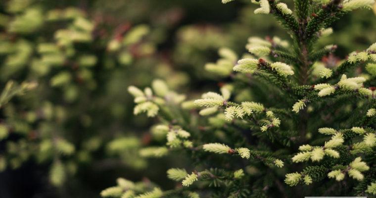 Świerk pospolity 'Ohlendorffii' (Picea abies)