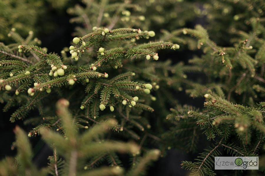 Świerk pospolity 'Tabuliformis' (Picea abies)