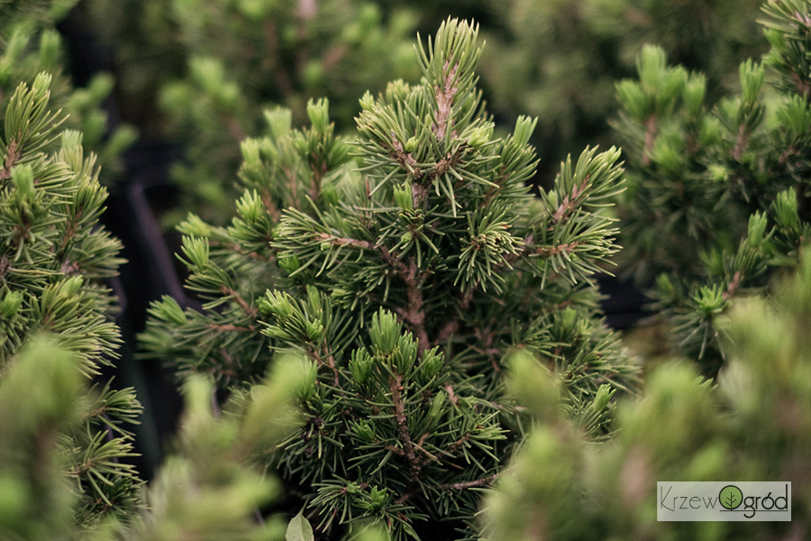 Świerk pospolity 'Tompa' (Picea abies)