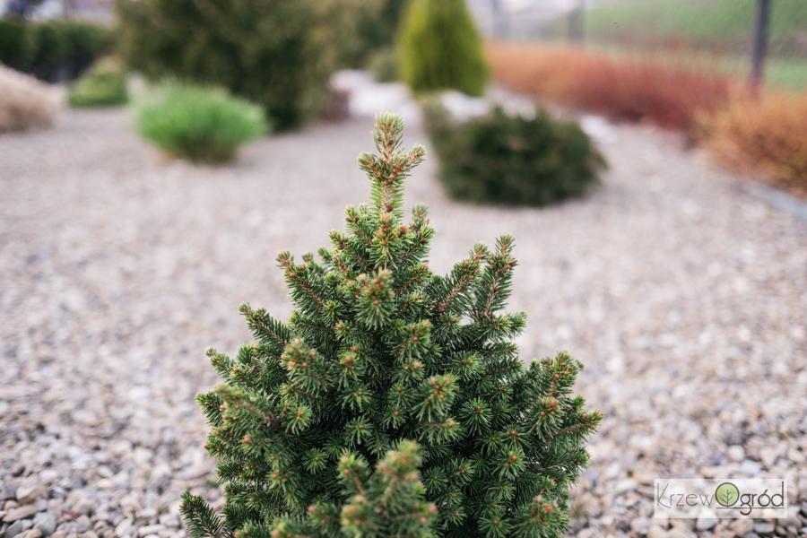 Świerk pospolity 'Will's Zwerg' (Picea abies)