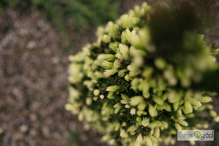 Świerk biały 'Daisy's White' (Picea glauca)