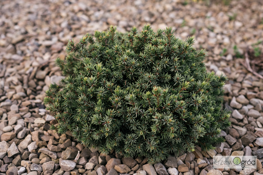 Świerk biały 'Echiniformis' (Picea glauca)