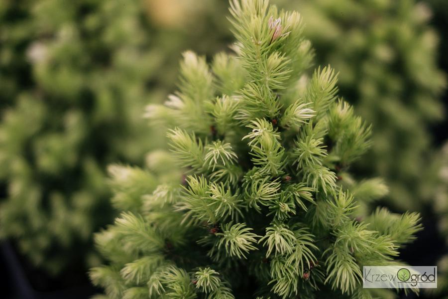 Świerk biały 'Maigold' (Picea glauca)