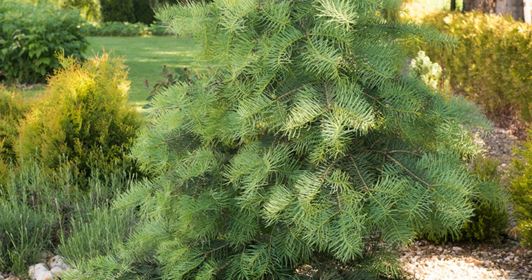 Jodła kalifornijska (Abies concolor)