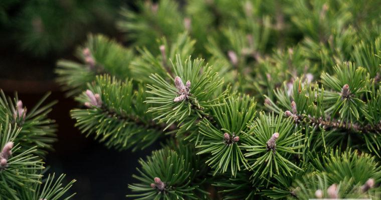 Sosna górska 'Humpy' (Pinus mugo)