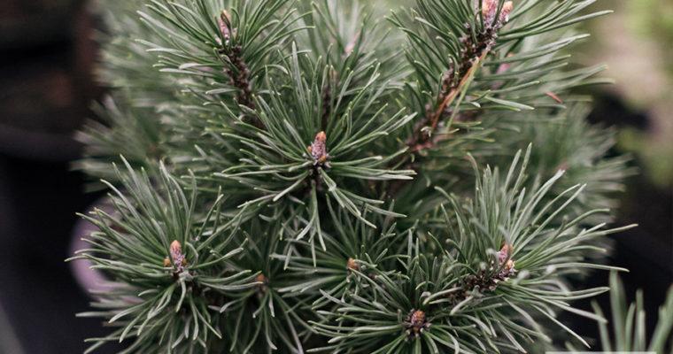 Sosna górska 'Mops' (Pinus mugo)