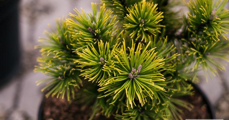 Sosna górska 'Ophir' (Pinus mugo)