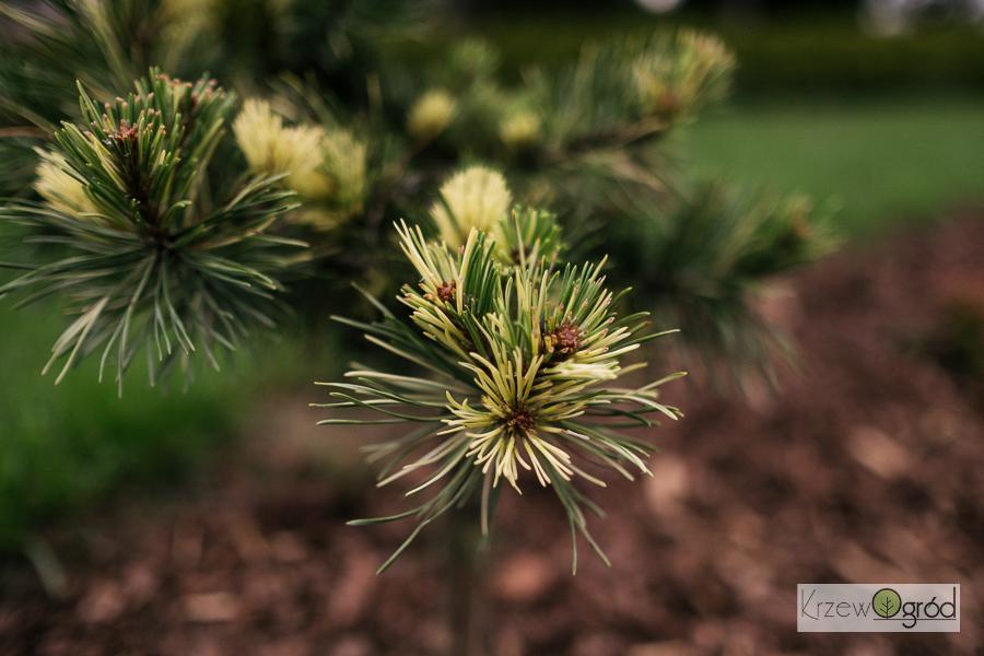 Sosna górska 'Walaszczyk' (Pinus mugo)