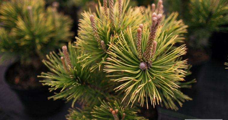 Sosna górska 'Winter Gold' (Pinus mugo)