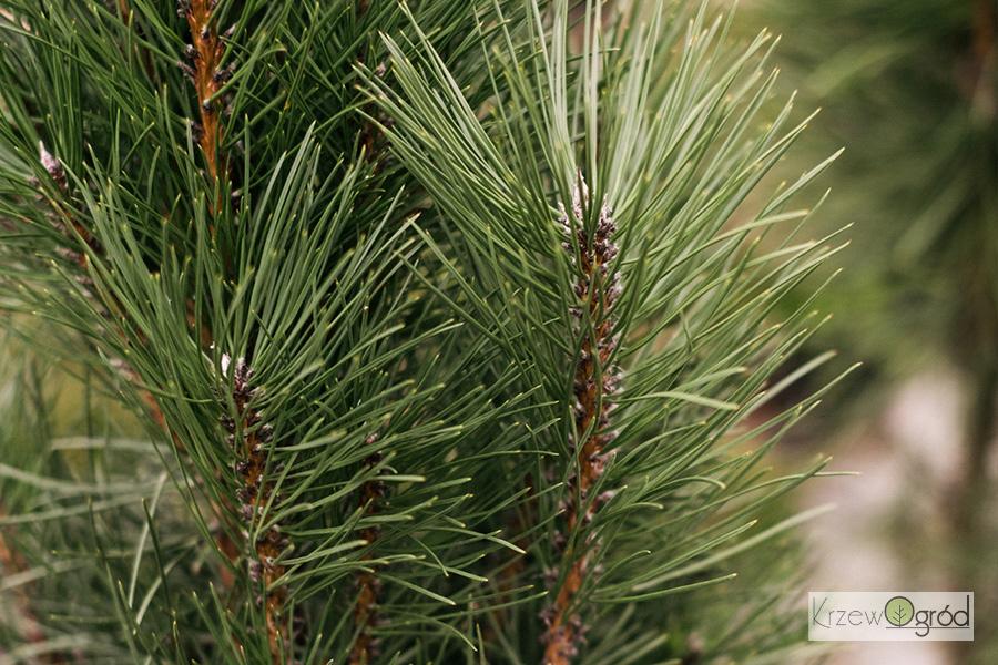 Sosna pospolita 'Fastigiata' (Pinus sylvestris)