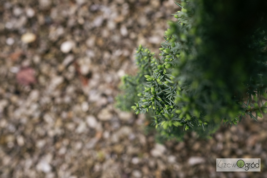Jałowiec pospolity 'Sentinel' (Juniperus communis)