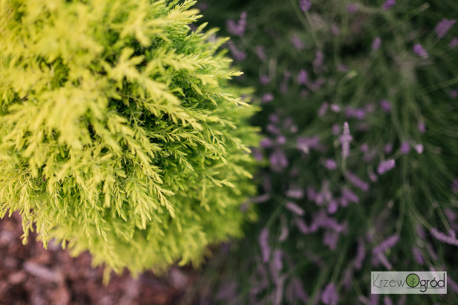 Jałowiec pospolity 'Suecica Aurea' (Juniperus communis)