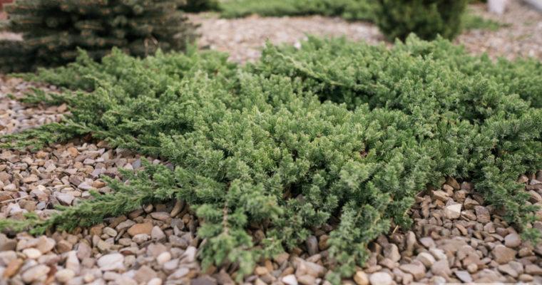 Jałowiec rozesłany 'Bonin Isles' (Juniperus procumbens)
