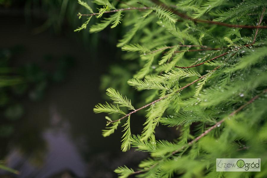 Cypryśnik błotny (Taxodium distichum) [niedostępny]